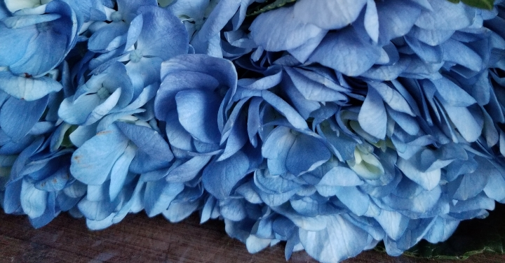 How to care for cut hydrangeas